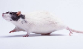 鼠疫是什么?什么情况下会染上鼠疫?